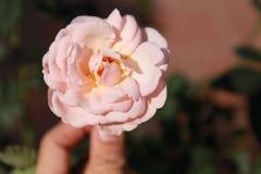 Beauté de Rose dans votre main Image libre de droits