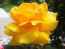 Beauté de Rose jaune à sa crête Images stock