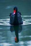 Beauté des cygnes Image libre de droits