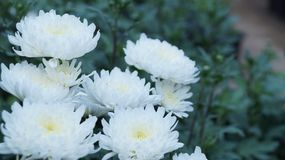 Beauté des fleurs blanches dans la soirée Photos stock