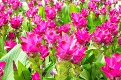 Beauté des fleurs de Siam Tulip de Thaïlande Images libres de droits