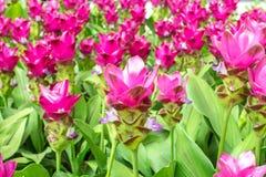 Beauté des fleurs de Siam Tulip de Thaïlande Photo stock