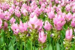 Beauté des fleurs de Siam Tulip de Thaïlande Images stock