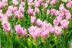 Beauté des fleurs de Siam Tulip de Thaïlande Photos stock