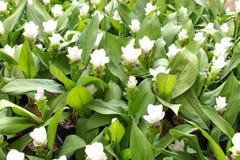 Beauté des fleurs de Siam Tulip de Thaïlande Image libre de droits