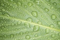 Beauté des lames de Canna avec des gouttes de pluie Images stock