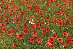Beauté des pavots rouges dans l'heure d'été Image stock