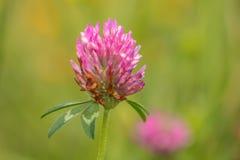 Beauté et la bête, insecte sur une fleur de trèfle images libres de droits
