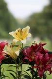 Beauté lilly Fleur de Lilly Photo stock