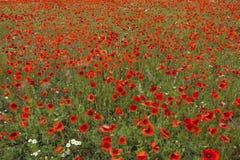 Beauté naturelle de champ du ` s de pavot Photographie stock