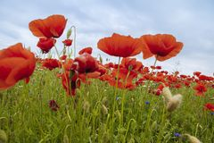 Beauté naturelle des pavots rouges Image libre de droits