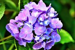 Beauté pourpre d'hortensia photos stock