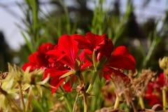 Beauté rouge Images libres de droits