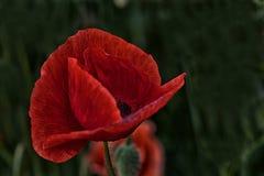 Beauté rouge Image libre de droits