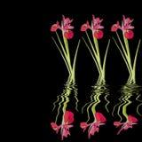 Beauté rouge d'iris Image stock