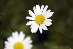 Beauté sensible Les petites fleurs de camomille se développent dans un jardin d'été Image stock