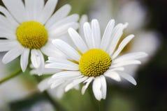 Beauté sensible Les petites fleurs de camomille se développent dans un jardin d'été Images stock