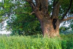 Beauté tranquille d'une soirée d'été dans la campagne désolée Un vieux chêne embranché avec la cavité profonde dans son tronc et  images stock