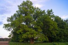 Beauté tranquille d'une soirée d'été dans la campagne désolée Un vieux chêne embranché avec la cavité profonde dans son tronc et  photos libres de droits