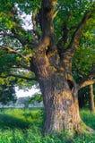 Beauté tranquille d'une soirée d'été dans la campagne désolée Un vieux chêne embranché avec la cavité profonde dans son tronc et  photo stock