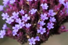 Beauté tranquille de Herb Robert photo stock