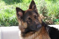 Beaut�ful German shepherd Royalty Free Stock Photos