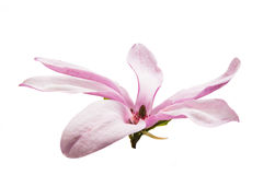 Beauteous Magnolia flower Stock Images