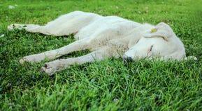 beautfiul白色狗在绿草睡觉 库存图片