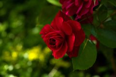 Beautful唯一红色玫瑰 图库摄影