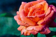 Beautful brzoskwinia Wzrastał w deszczu Obrazy Royalty Free
