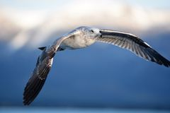 Beautful flying sea gull over Lake Tahoe. Soaring over Lake Tahoe a beautiful gull showing off. The snow capped sierra mountains in the background Not always by stock photo