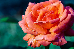 Beautful Peach Rose in the Rain Royalty Free Stock Images