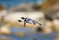 Beautful Pied kungsfiskare med vingar fördjupade i flykten göra dyk arkivfoton