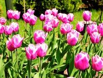 Beautful roze tulpen van mijn binnenplaats royalty-vrije stock afbeeldingen