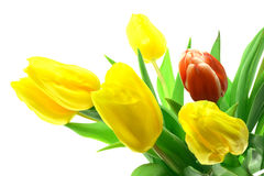 Beautful tulips on a white Stock Photography