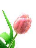 Beautful Tulpe auf einem Weiß Stockbild
