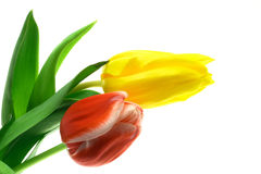 Beautful Tulpen auf einem Weiß Stockfotos