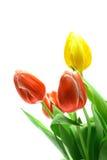 Beautful Tulpen auf einem Weiß Stockbild