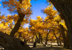 Beauthful Populus euphratica in  autumn. The Populus euphratica in sunshine Stock Image