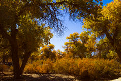 Beauthful Populus euphratica in  autumn. The Populus euphratica in sunshine Stock Photography