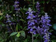 beauti da flor de Salvia do à¸'Blue imagem de stock