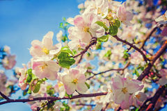Beauti in nature red apple tree flowers floral Royalty Free Stock Photo