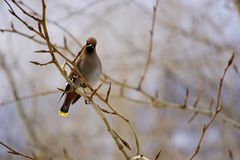 Colorful bird Bohemian waxwing sitting on the branch stock image