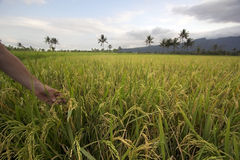 Beautifful Reisfelder in Bali Stockfoto