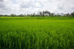 Beautifful rice fields in bali Stock Photography