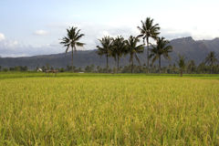 Beautifful rice fields in bali Royalty Free Stock Photos