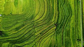 Rice field in the Asia. Top view.
