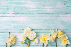 Beautifil spring yellow narcissus on turquoise painted wooden pl Stock Image
