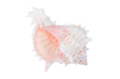 Beautifiul ocean shell isolated on white Royalty Free Stock Photos