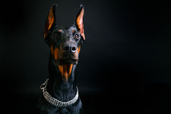 Beautifu Doberman na czarnym tle obraz royalty free